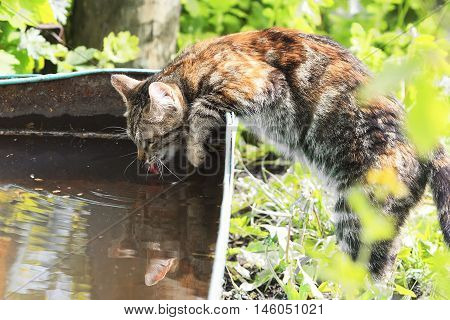 motley the cat drinks water from an old trough