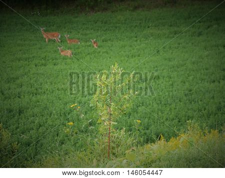 Whitetail deer triplets in a green field