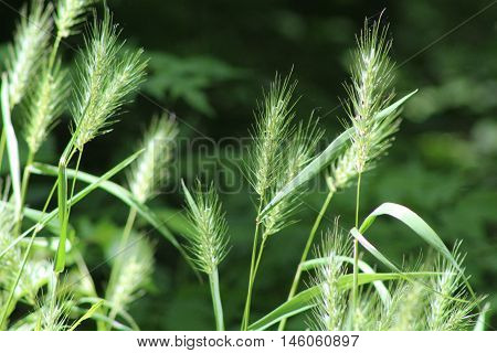 Dramatic foxtail grasses taken in the sun against a dark background