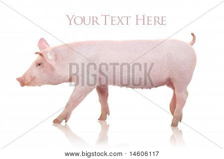 Piglet isolated