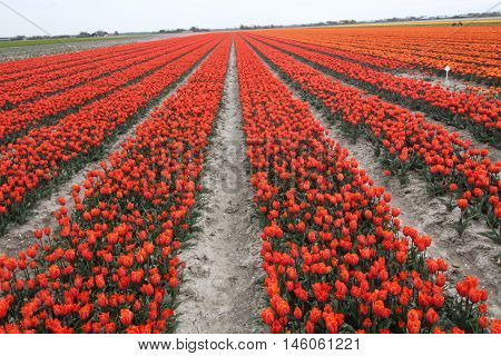 Rows of bright red tulips in tulip bulb field in Holland