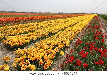 Rows of colorful tulips in field near Holland