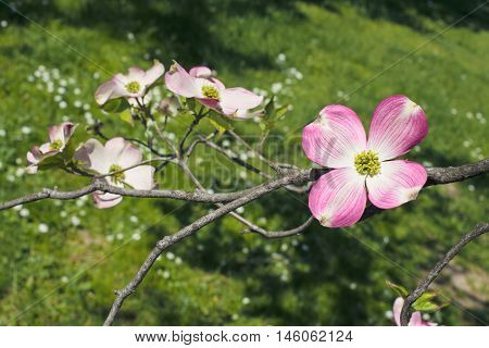 sunlit pink dogwood blossom on a green-grass background