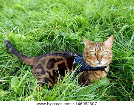 Bengal Cat On A Harness And Leash Lying In The Grass