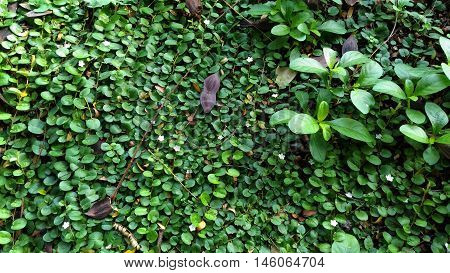 Fresh and Green meadow - (Evolvulus nummularius and popping pod)