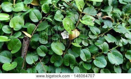 Evolvulus nummularius - a ground cover plant