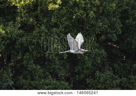 Reddish Egret glides past mangrove trees at Alafia Banks