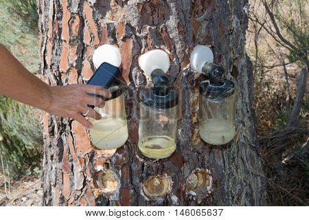 Hand of woman collecting information on Bags attached to a pine tree collecting the Resin