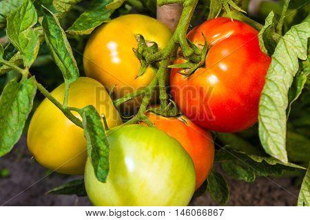 Fresh Ripe And Immature Tomatoes