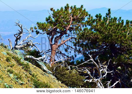 Pine Trees on a mountain ridge overlooking the Southern California landscape taken in Mt Baldy, CA