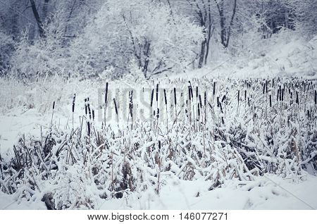 Cattail In Snow, Toned Image.