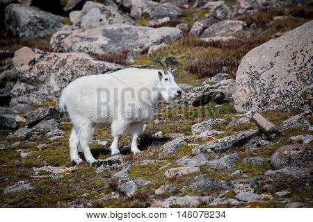 Wild mountain goat on Mount Evans tundra