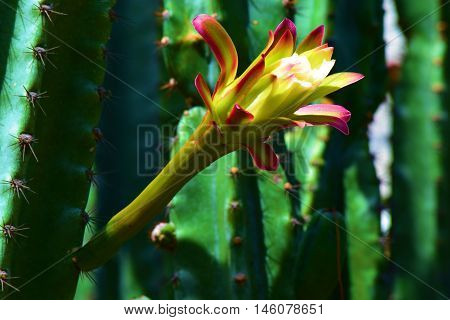 Mexican Giant Cardon Plant Cactus Flower Blossoms which is native to Baja California