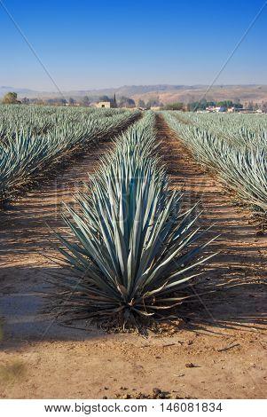 Tequila landscape agave field in Guadalajara Jalisco Mexico.