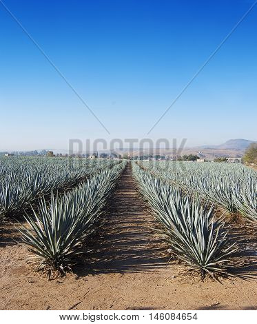 A beautiful landscape of Agave Tequila Jalisco in Mexico