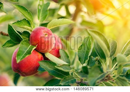 Apple tree with red apples close-up on fruits
