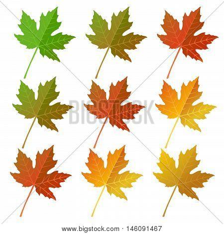 Autumn Maple  Leaves Set
