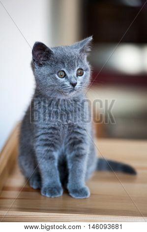 Adorable Little British Kitten