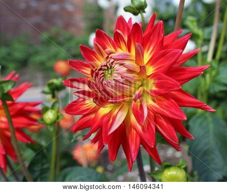 The striking variegated flower of a bi-coloured Dahlia plant.