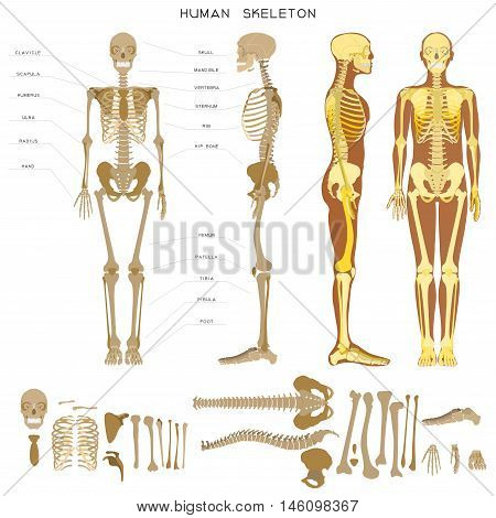 Human anatomy. Realistic detailed skeleton of a full-length, front and profile view.