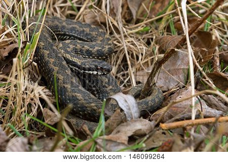 Common European Adder (Vipera Berus) in leaf litter