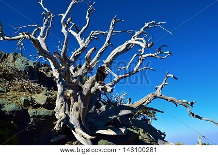 Arid landscape including a dead plant with dry branches taken in Mt Baldy, CA