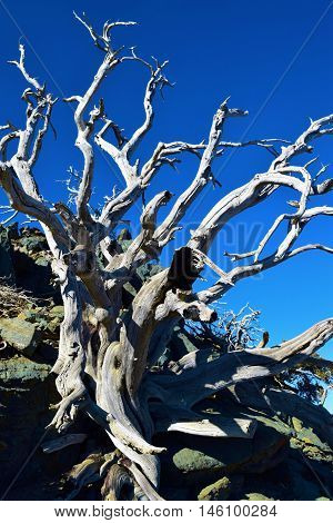 Dead plant with dry branches caused by drought taken in Mt Baldy, CA