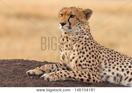 Male cheetah sitting in grass and looking for its pray in Masai Mara Kenya. Horizontal portrait