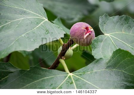 Growing fig fruit on the branch in summer time. Young fig fruit. Horizontal. Close.