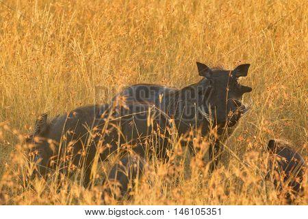 Two warthog in the grass of Masai Mara Kenya