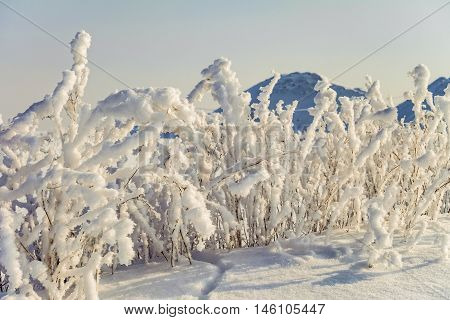 Winter background of bushes in hoarfrost. Sticky snow.