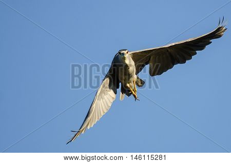 Black-Crowned Night-Heron Making Direct Eye Contact While Flying in a Blue Sky