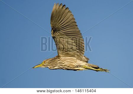 Immature Black-Crowned Night-Heron Flying in a Blue Sky