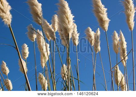 Fluffy white toe toe plant austroderia on blue sky background