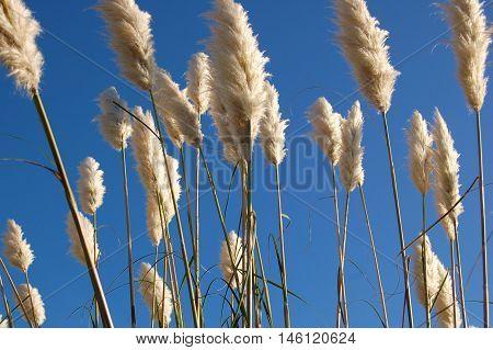 Fluffy white toe toe plant austroderia on blue sky background poster