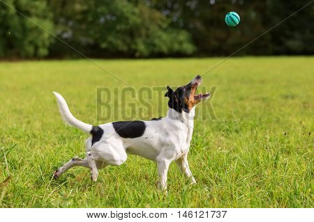 Dog Is Playing With A Ball
