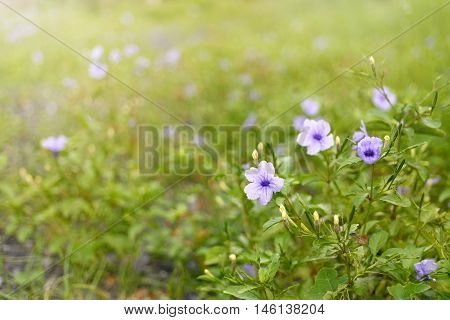 selective focus of ruellias flower in garden with sunlight in the evening, background, copy space.