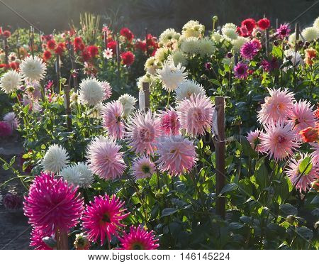Sunset in dahlia garden with different types of laciniated dahlias. Back light.