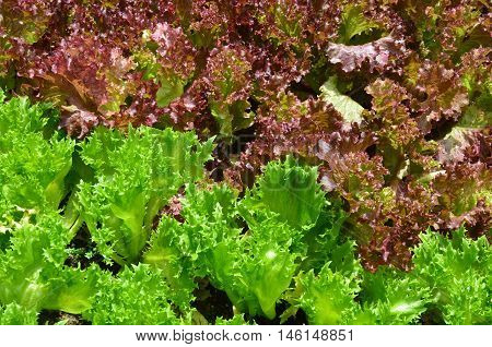 fresh green and purple vegetable plot in thailand
