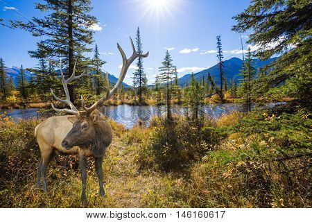 The big red deer with branchy horns is grazed on bank of the lake. The concept of eco-tourism. Indian summer in the Rocky Mountains of Canada