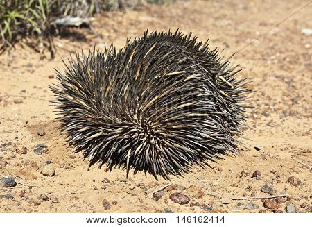 echidna rolled up in a ball on dry dirt