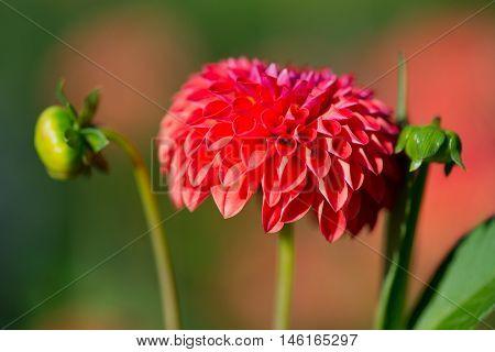 Red Pompon dahlia in sunshine in garden