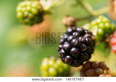 Blackberries on bush ripe and unripe in vegetable garden