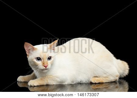 Frightened Cat of Breed Mekong Bobtail, Lying and Looking up on Isolated Black Background, Color-point Fur