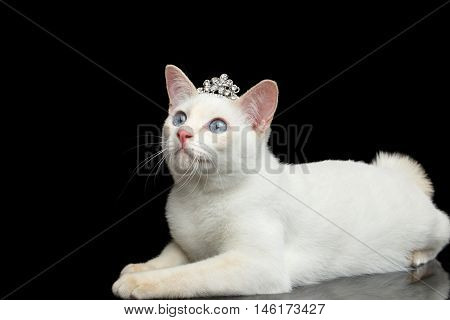 Gorgeous Blue eyed Female Cat of Breed Mekong Bobtail, Lying with jewelry, Isolated Black Background, Color-point Beige Fur