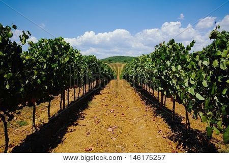 Tuscany vineyards in the harvest time, Italy