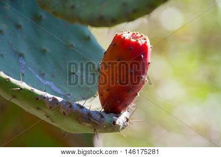 Cactus prickly pear opuntia with ripe pink fruits