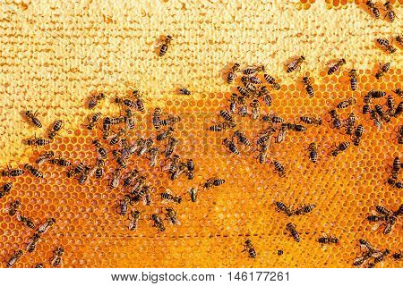 Close up view of the working bees on the honeycomb in apiary with sweet honey. Honey is beekeeping healthy produce. Bee honey collected in the yellow beautiful honeycomb.Selective focus, copy space