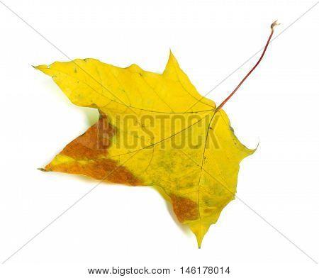 Autumn Multicolor Maple-leaf