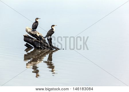 Two Comorant Birds And Reflections On Water